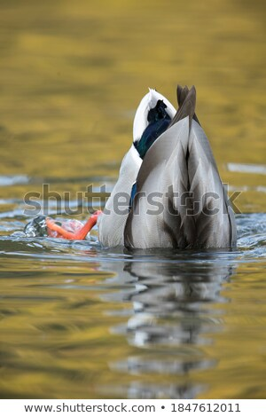 mallard duck searching for food Stock photo © taviphoto