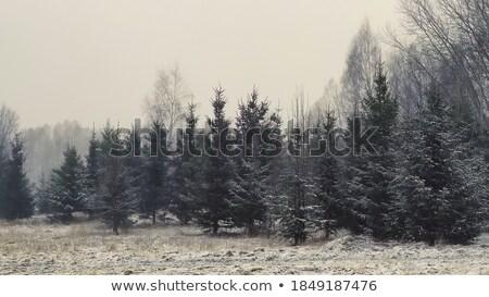 Zimą mróz wystroić drzewo płytki Zdjęcia stock © fanfo
