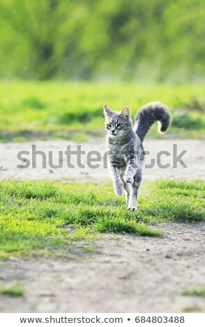 серый британский кошки трава зеленая трава природы Сток-фото © DedMorozz