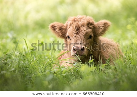 Highland Cow with calf in green field stock photo © rekemp
