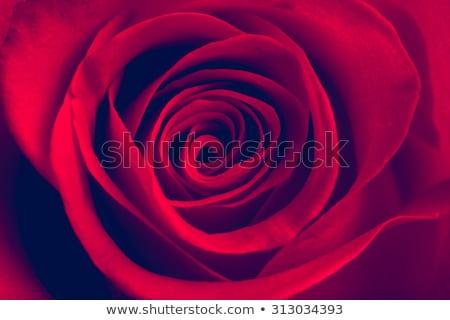 Beautiful Red Rose Close up. Macro Flower Background Stock photo © maxpro