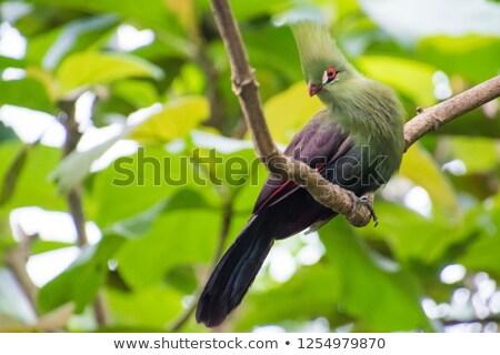 Livingstone's Turaco Bird Stock photo © fouroaks