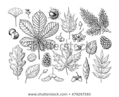 осень листьев рисованной вектора эскиз белый Сток-фото © TasiPas