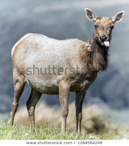 Tule Elk (Cervus canadensis nannodes) adult cow grazing Stock photo © yhelfman