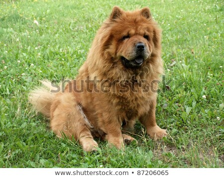 cute female chow chow with yellow fur sitting Stock photo © feedough