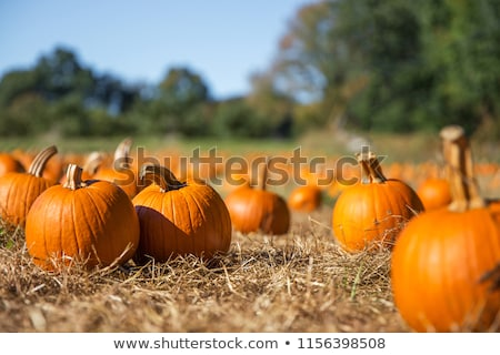 Pumpkin Patch Outdoors In Autumn Stock photo © solarseven