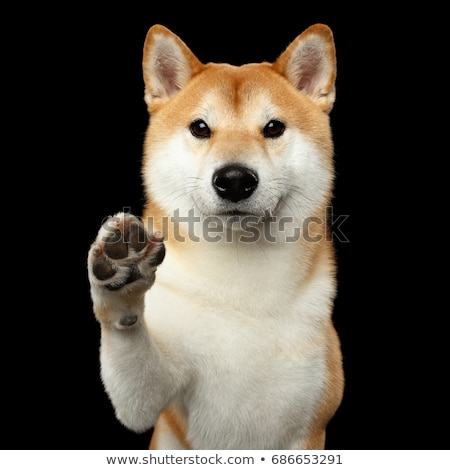 Portrait of an adorable Akita inu Stock photo © vauvau
