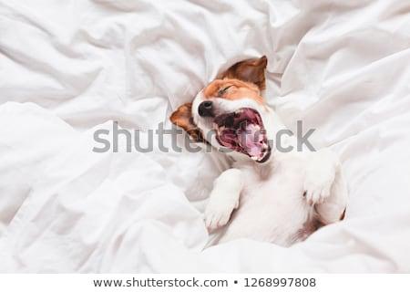 Cute moe jack russell terrier hond comfortabel bed Stockfoto © vkstudio