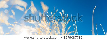 gouden · rijp · tarwe · blauwe · hemel · zomer - stockfoto © paha_l