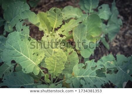 Organik bahçıvanlık sebze karnabahar taze yaprak Stok fotoğraf © sherjaca