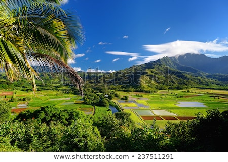 Taro Fields on Kauai Hawaii Stock photo © pixelsnap