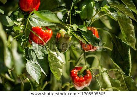growing peppers Stock photo © imarin