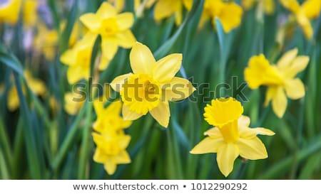 Nergis görüntü makro sarı çiçek bahçe Stok fotoğraf © Kirschner