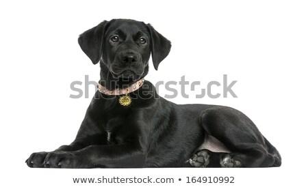 black labrador retriever puppy dog lying down stock photo © feedough