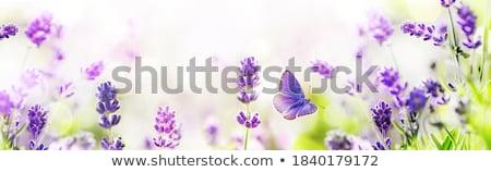 Belo roxo lavanda arbusto coberto denso Foto stock © jrstock
