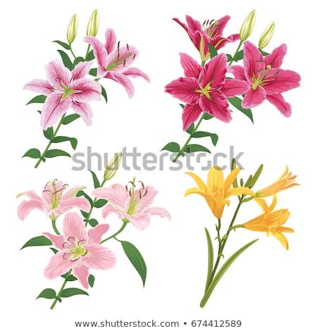 розовый · Лилия · изолированный · белый · цветок · весны - Сток-фото © es75