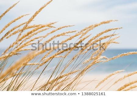 golden dune grass stock photo © w20er