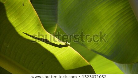 Lizard on a Leaf Stock photo © rhamm