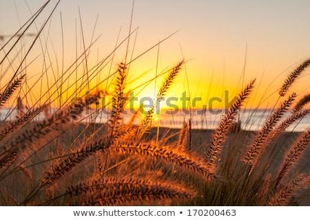 Dourado pôr do sol praia alto grama vento Foto stock © Frankljr