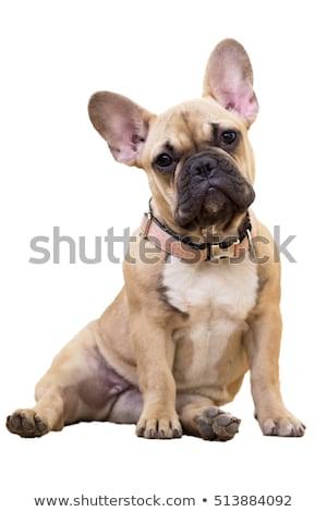 Portrait of a baby sitting french bulldog  Stock photo © OleksandrO