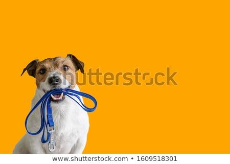 kutya · fut · messze · angol · bulldog · póráz - stock fotó © willeecole