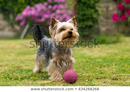 happy yorkshire terrier puppy dog is walking in the grass stock photo © feedough