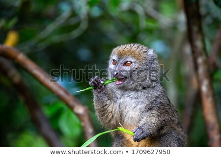 Red gentle lemur on a branch Stock photo © Sportactive