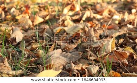 лезвия трава осень парка природы оранжевый Сток-фото © DedMorozz