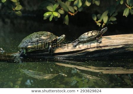 2 淡水 カメ 岩 池 自然 ストックフォト © OleksandrO