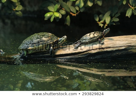 two freshwater turtles  Stock photo © OleksandrO