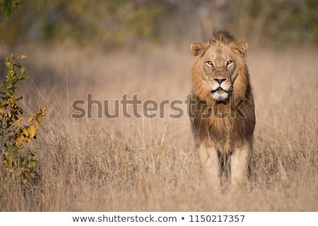 Lion - Pathera leo Stock photo © bluering