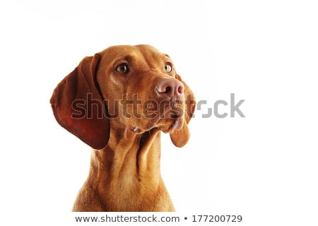 Stock photo: Hungarian vizsla portrait in a white studio
