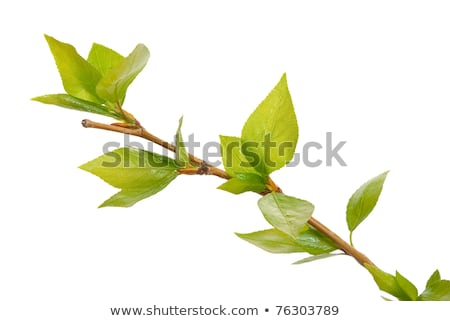 branch aspen tree with spring buds isolated on white stock photo © alexan66