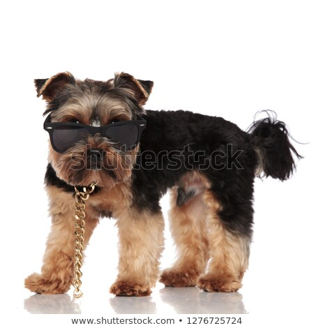 side view of adorable yorkie wearing sunglasses and necklace Stock photo © feedough