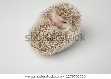 sleepy african dwarf hedgehog resting on its back stock photo © feedough