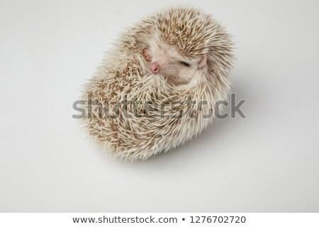 álmos afrikai törpe sündisznó pihen hát Stock fotó © feedough
