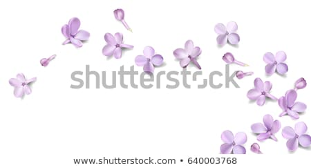 White background with lilac flowers and place for text Stock photo © Kotenko