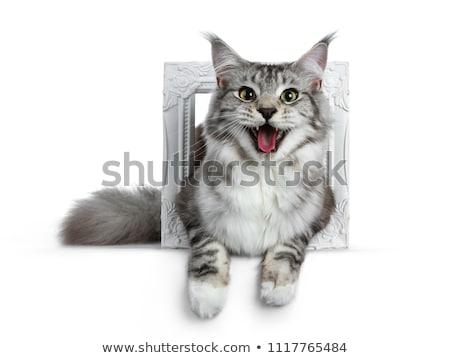 Foto stock: Bastante · preto · prata · Maine · gato