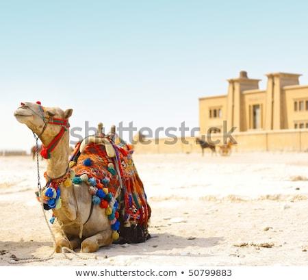 Camelo sessão deserto terra viajar Foto stock © dariazu