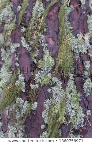 Barba musgo forestales primer plano árbol Foto stock © Juhku