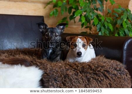 Different dog breeds at sofa Stock photo © colematt