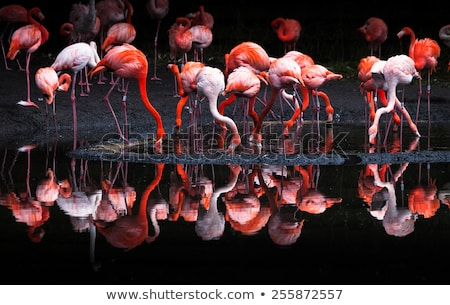 pink flamingo or flamingoes are a type of wading bird in the fam stock photo © galitskaya