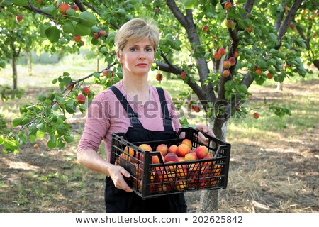 Farmer holding crate with apricot fruit in orchard Stock photo © simazoran