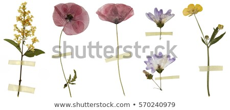 Dried Violet flowers on white Stock photo © AGfoto