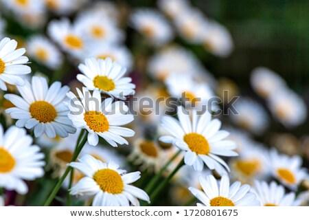 Witte madeliefjes groene glade bloem Stockfoto © ElenaBatkova