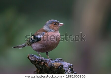 Female common chaffinch bird sitting on a tree Stock photo © manfredxy