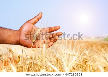 Gazda kéz mezőgazdaság növény növekedés mező Stock fotó © AndreyPopov