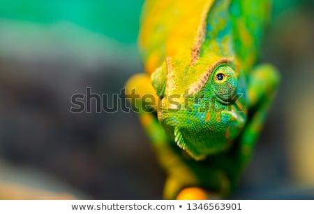 hagedis · kleurrijk · geïsoleerd · witte · groene - stockfoto © angelsimon