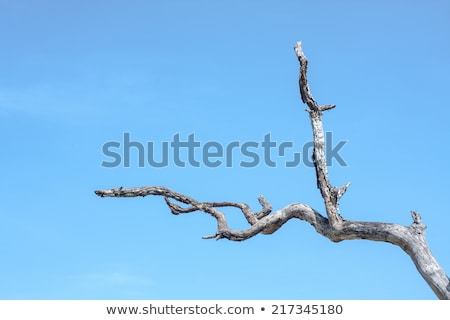 Dead Tree against blue sky. Stock photo © Klodien
