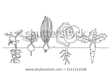 Stock photo: Turnip growing in garden - vector illustration